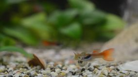 Close up of a domestic aquarium full of young fish. The majority of them are guppies, some females are pregnant, red neons and gr stock footage