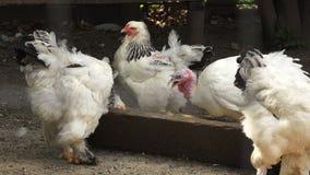 Close up on domestic birds. Farm stock video footage