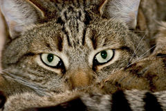 Close up of domestic cat. Cat looking intensively straight in the eye Royalty Free Stock Images