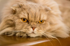 Close-up of domestic cat Royalty Free Stock Photos