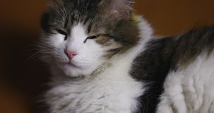 Close-up of a domestic cat. Beautiful pet lies at home and looks to the camera stock video