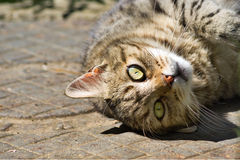 Close up of domestic cat lying upside down Stock Photo