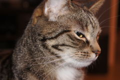 Close-up of domestic cat - sideview Royalty Free Stock Images