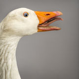 Close-up of a Domestic goose, Anser anser domesticus, clucking Royalty Free Stock Photos