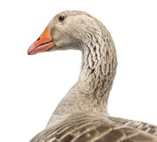 Close-up of a Domestic goose, Anser anser domesticus, isolated. On white stock photo