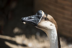 Close up domestic goose in the farmyard ,Thailland Stock Images