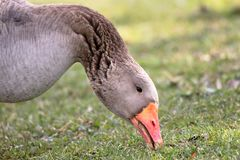 Close-up of a domestic goose with an orange beak eating Royalty Free Stock Images