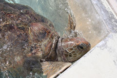 Close-up of domestic green sea turtle. In Grand Cayman turtle farm Royalty Free Stock Images