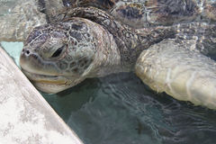Close-up of domestic green sea turtle. In Grand Cayman turtle farm Royalty Free Stock Photography