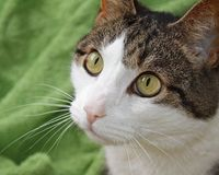 Close up of a domestic short haired cat. Big bright hazel colored eyes, soft pink nose and white face and whiskers.  royalty free stock images