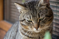 Close up of domestic short-haired tabby tomcat sitting on window of the house Royalty Free Stock Image