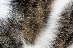Close-up of domestic tiger patterned cat fur. Wild pet, animal freedom and rights, animal cruelty concept, background and copy space stock photography