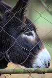Close-up on a donkey. Beyond a fence in a zoo Stock Image