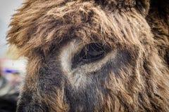 Close up of a donkey eye
