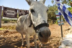 Close up of donkey face with greece flag in background. royalty free stock image