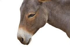 Close up of donkey head isolated on a white Royalty Free Stock Photo