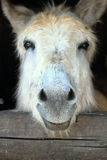 Close up of a Donkey Royalty Free Stock Photos