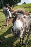 Close up of a donkey muzzle. Funny donkey muzzle close up Stock Photo