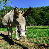 Close-up donkey portrait on the farm Royalty Free Stock Images