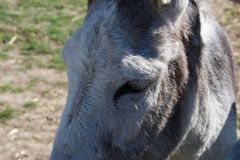 Close up of donkey`s eye on sunny day stock image