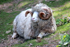 Close Up of a Dorset Ram. Dorset Ram in New Zealand royalty free stock image