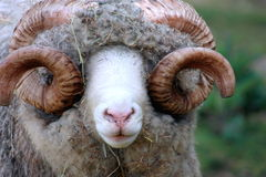 Close Up of a Dorset Ram. Dorset Ram in New Zealand Stock Photos