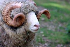 Close Up of a Dorset Ram. Dorset Ram in New Zealand Stock Photo