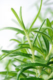 Close-up dos alecrins no fundo branco Imagem de Stock