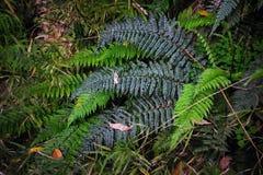 Close up dos arbustos da samambaia Imagens de Stock