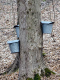 Close up dos baldes e das torneiras nas árvores de bordo para recolher a seiva Fotografia de Stock Royalty Free