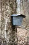 Close up dos baldes nas árvores de bordo usadas para recolher a seiva Fotos de Stock Royalty Free