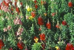 Close-up dos boca-de-lobo na flor, Tampa, FL Imagem de Stock