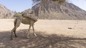 Close up dos camelos no deserto Fotos de Stock