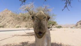 Close up dos camelos no deserto Foto de Stock Royalty Free