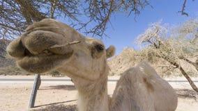 Close up dos camelos no deserto Imagens de Stock