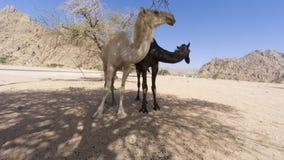 Close up dos camelos no deserto Fotografia de Stock Royalty Free