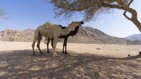 Close up dos camelos no deserto Fotos de Stock Royalty Free