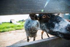 Close up dos carneiros no Zaanse Schans, Países Baixos Fotos de Stock