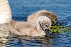 Close up dos cisnes novos da cisne muda no delta de Danúbio Jovens da cisne, babi Imagem de Stock