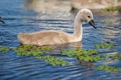 Close up dos cisnes novos da cisne muda no delta de Danúbio Jovens da cisne, babi foto de stock royalty free