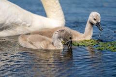 Close up dos cisnes novos da cisne muda no delta de Danúbio Jovens da cisne, babi imagens de stock