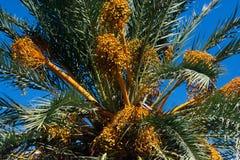 Close up dos frutos da palma de data contra o céu azul imagem de stock royalty free