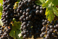 Close up dos grupos de uvas vermelhas no vinhedo Foto de Stock