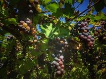 Close-up dos grupos do vinho tinto maduro foto de stock