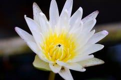 Close up dos lótus brancos com interior do couro cru da abelha imagens de stock royalty free