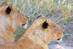 Close-up dos leões (panthera leo) Imagens de Stock