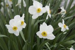 Close up dos narcisos amarelos brancos Imagem de Stock