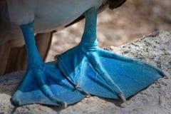 Close up dos pés do peito footed azul no fotos de stock royalty free