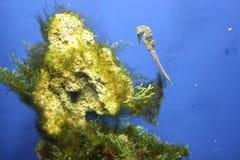 Close up dos peixes do cavalo de mar no fundo do aquário foto de stock