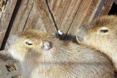 Close-up dos porcos Imagens de Stock Royalty Free